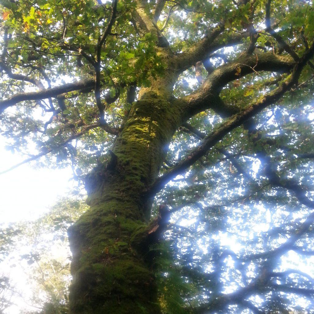 Dagda sous le Chêne